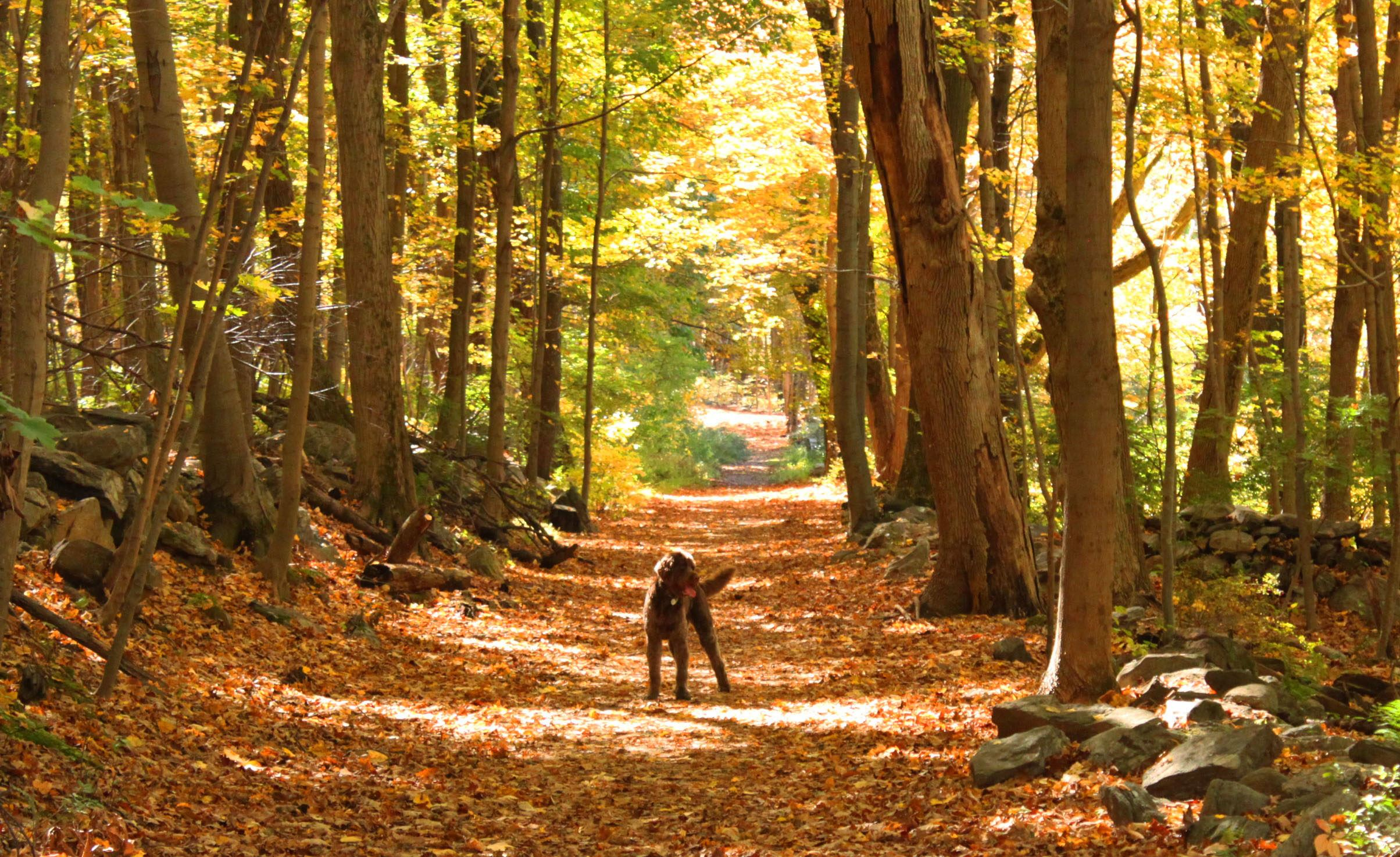 Dog on tree lined path with fallen leaves